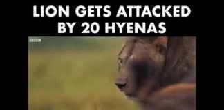 Lion Gets Attacked By 20 Hyenas