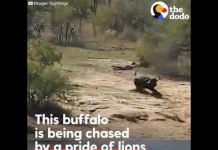 Herd Rescues Buffalo From Lions And A Crocodile